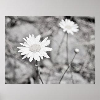Póster Dos flores blancas blancos y negros