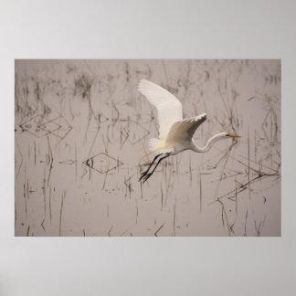 Póster El gran Egret 36 x 24 papeles archivales (mates)