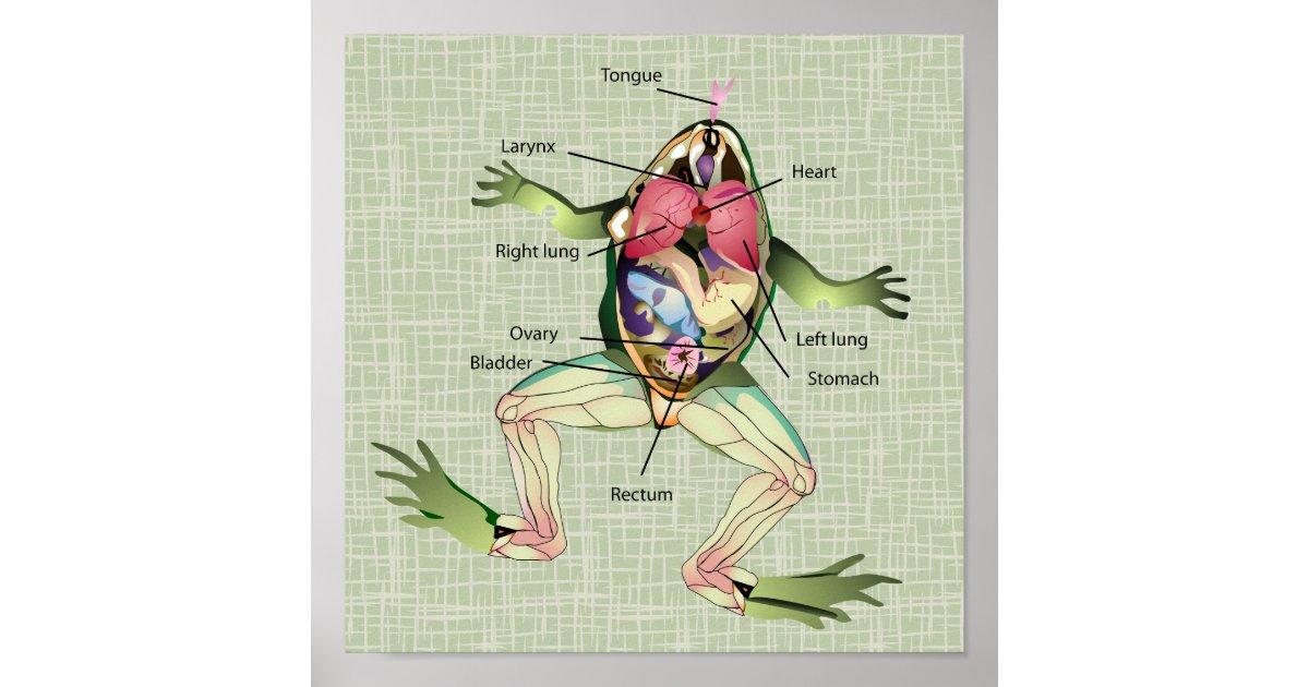 Póster El ilustracion de la anatomía de la rana | Zazzle.es