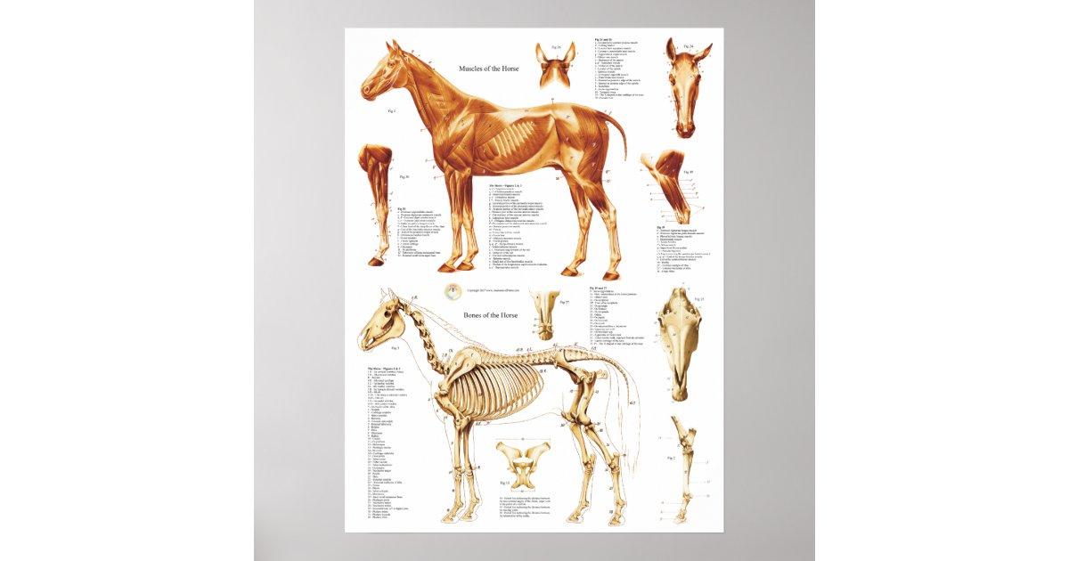 Póster El poster de la anatomía del caballo Muscles y | Zazzle.es