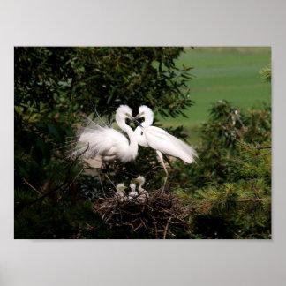 """Póster Familia blanca del Egret 11,33"""" x 8,50"""" poster"""