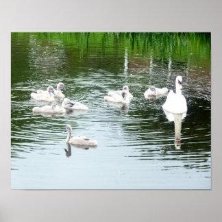 Póster Familia de cisnes