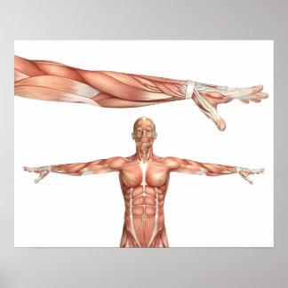 Póster figura médica que muestra la pronación del codo