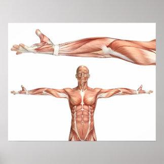 Póster figura médica que muestra la supinación del codo