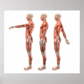 Póster Flexión, extensión e hiperextensión del hombro