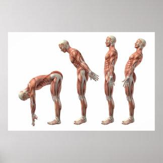 Póster Flexión, extensión y hiperextensión masculinas del