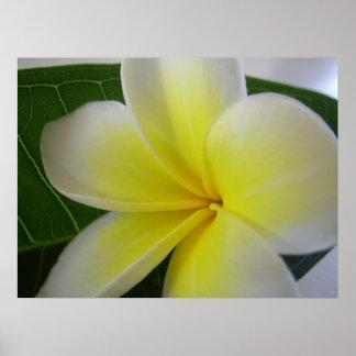 Póster Flor blanca y amarilla del Frangipani