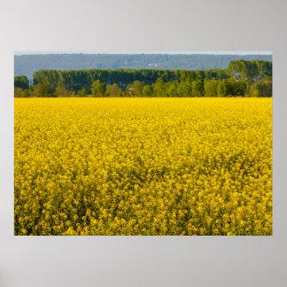 Póster flores amarillas de la rabina iluminadas por el