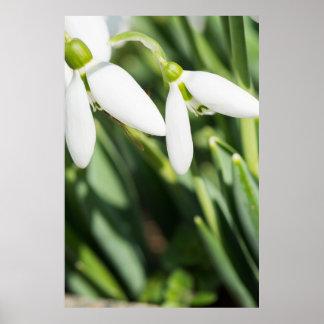 Póster Flores de Snowdrops