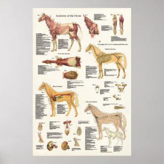 Póster Formato grande del poster equino de la anatomía