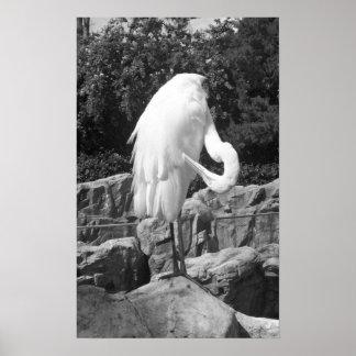 Póster Foto blanco y negro del Egret