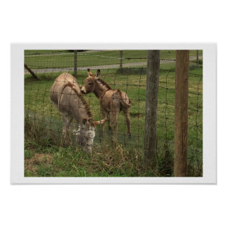 Póster Foto de los burros