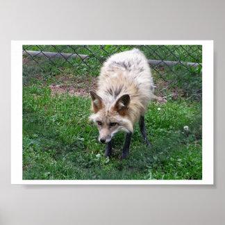 Póster Foto del Fox