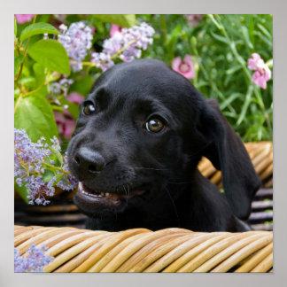 Póster Foto negra linda del mascota del perrito del perro