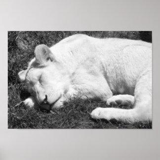 Póster Fotografía blanco y negro de la leona el dormir