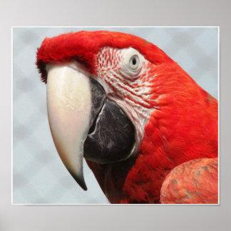 Póster Fotografía de la cara del Macaw
