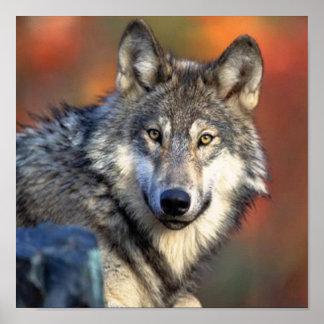 Póster Fotografía del lobo