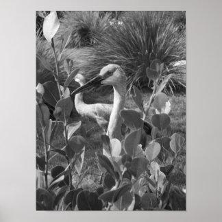 Póster Fotografía exótica del pájaro de la grúa blanco y