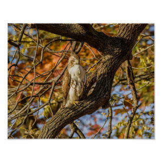 Póster Halcón y follaje de otoño