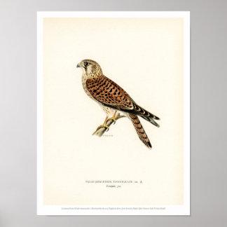 Póster Ilustracion del pájaro del vintage - cernícalo