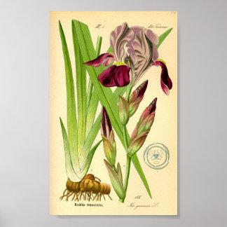 Póster Iris alemán (germanica del iris)