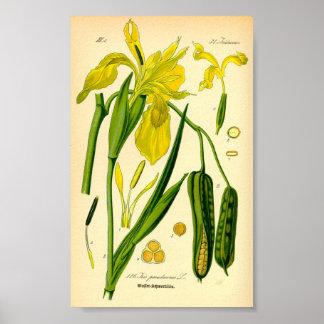 Póster Iris amarillo (pseudacorus del iris)