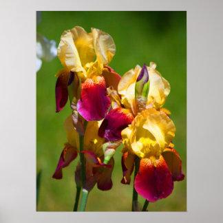 Póster Iris colorido