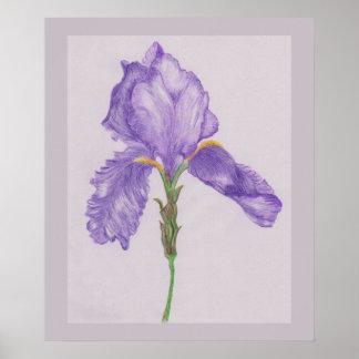 Póster Iris púrpura barbudo