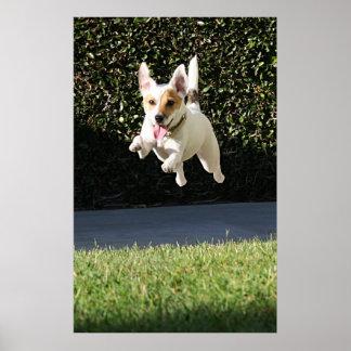Póster Jack que vuela Russell Terrier (cosechado)