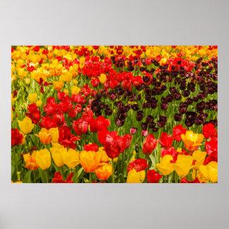 Póster la floración de tulipanes en el papel de poster