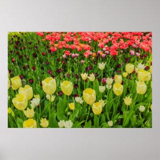 Póster la floración de tulipanes en un papel de poster