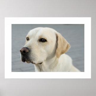 Póster Labrador de oro