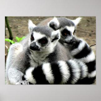 Póster Lemurs Anillo-Atados