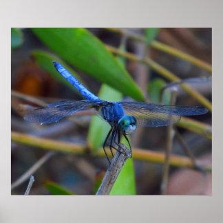 Poster - libélula azul póster