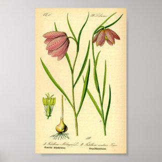 Póster Lirio a cuadros (meleagris del Fritillaria)