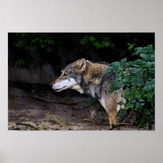 Póster Lobo eurasiático