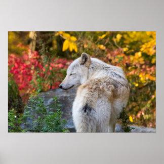 Póster Lobo sereno del otoño