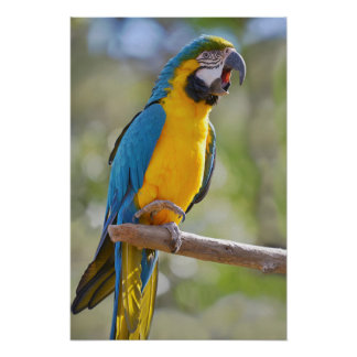 Póster Macaw de Gelbbrustara en perca