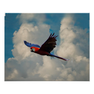 Póster Macaw del escarlata