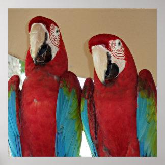 Póster Macaws rojos, azules, verdes (loros)
