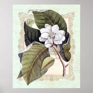 Póster Magnolia botánica del vintage meridional de la