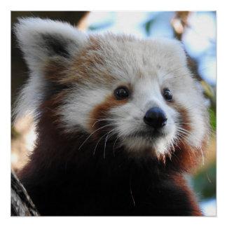 Póster Maiya la panda roja