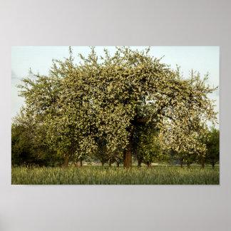 Póster Manzano En la floración