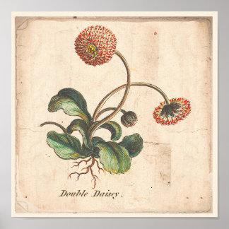 Póster Margarita botánica antigua del doble del poster de