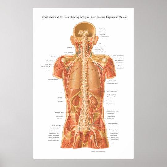 Póster Médula espinal, órganos internos y anatomía P de | Zazzle.es