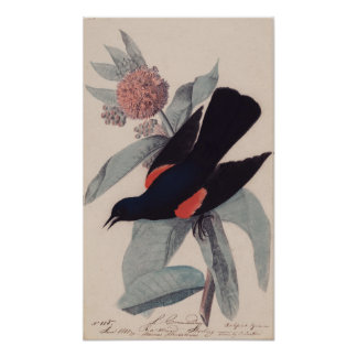 Póster Mirlo de alas rojas de John James Audubon