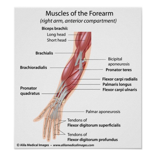 Póster Músculos del antebrazo, etiquetados diagrama | Zazzle.es