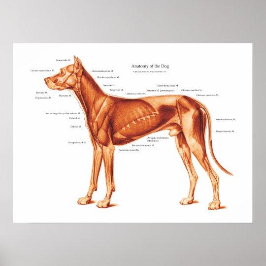 Póster Músculos del poster de la anatomía del perro | Zazzle.es