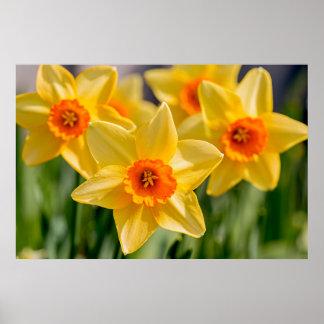 Póster Narcisos de la primavera