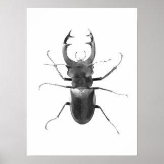 Poster negro y blanco del escarabajo de macho póster
